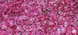 ir2566 3 272x125 - تصاویری از گلاب گیری قمصر کاشان