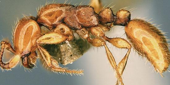 1363262 704 - کشف مورچه خجالتی