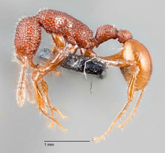 کشف یک گونه جدید مورچه در سنگاپور به نام «تی رکس» که عادات عجیبی دارد