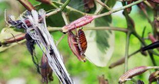 یسونیا برونانیانا درخت قاتل پرنده ها