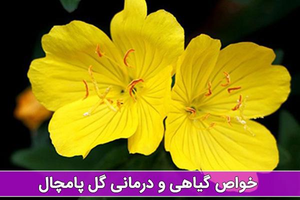 خواص گل پامچال