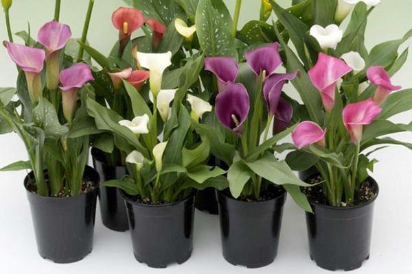 نگهداری گل شیپوری در گلدان