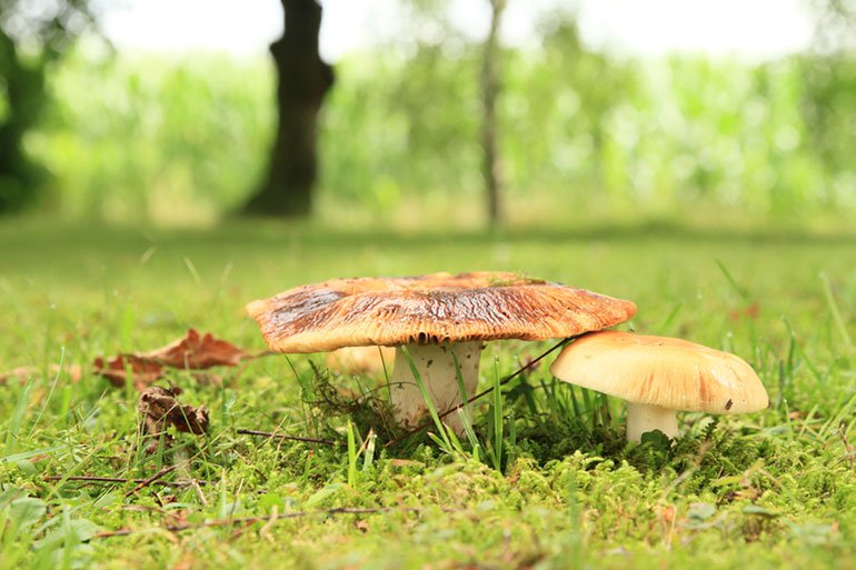 چگونه قارچ سمی را از قارچ خوراکی تشخیص دهیم؟