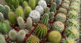 cactus3 breeding tips3 310x165 - آموزش پیوند کاکتوس