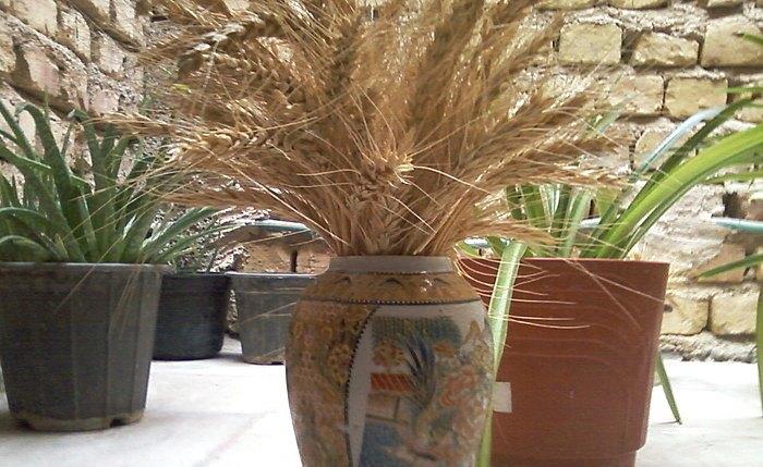 روش کاشت گندم در گلدان