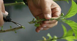 159706 127 310x165 - انواع مختلف قلمه زدن گیاهان