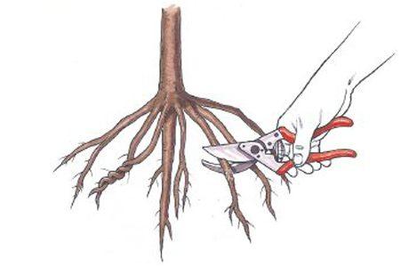 قلمه ریشه