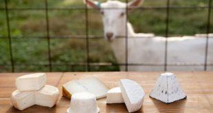 goat2 cheese properties1 310x165 - خواص و فواید پنیر بز چیست مقایسه پنیر بز با پنیر گاو