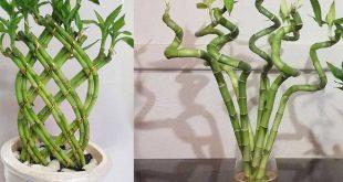 192531 346 310x165 - روش پیچ دادن و قلمه زدن و تکثیر گیاه بامبو در خانه