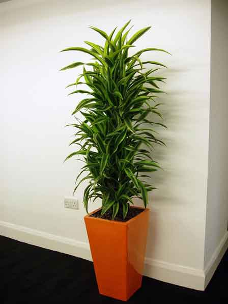 گیاه Dracaen