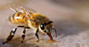 188484 740 310x165 - آیا نیش زنبور خواصیت دارد؟عوارض طبیعی نیش زنبور