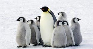 Penguins 310x165 - حیواناتی که میتوانند سالها بدون آب و غذا زنده بمانند
