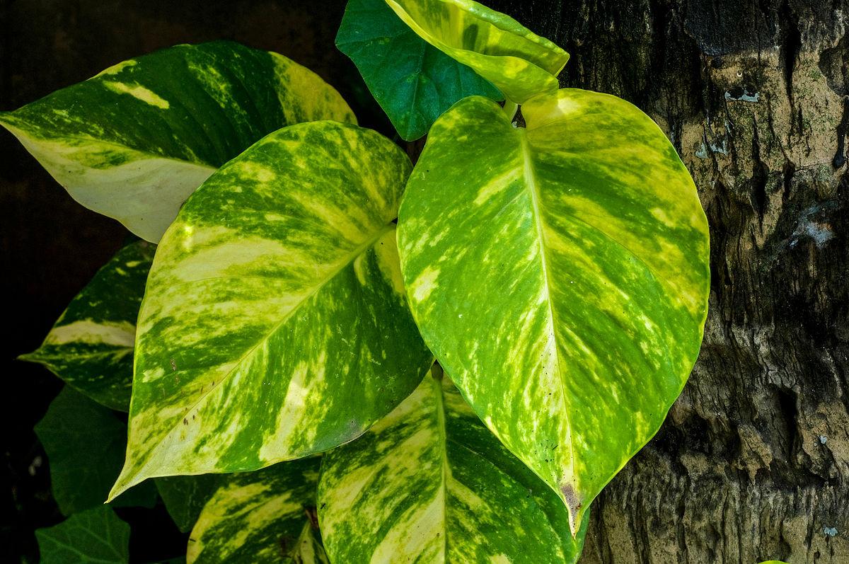 Epipremnum aureum 31082012 - گیاهان مناسب اپارتمان با شرایط نگهداری آسان