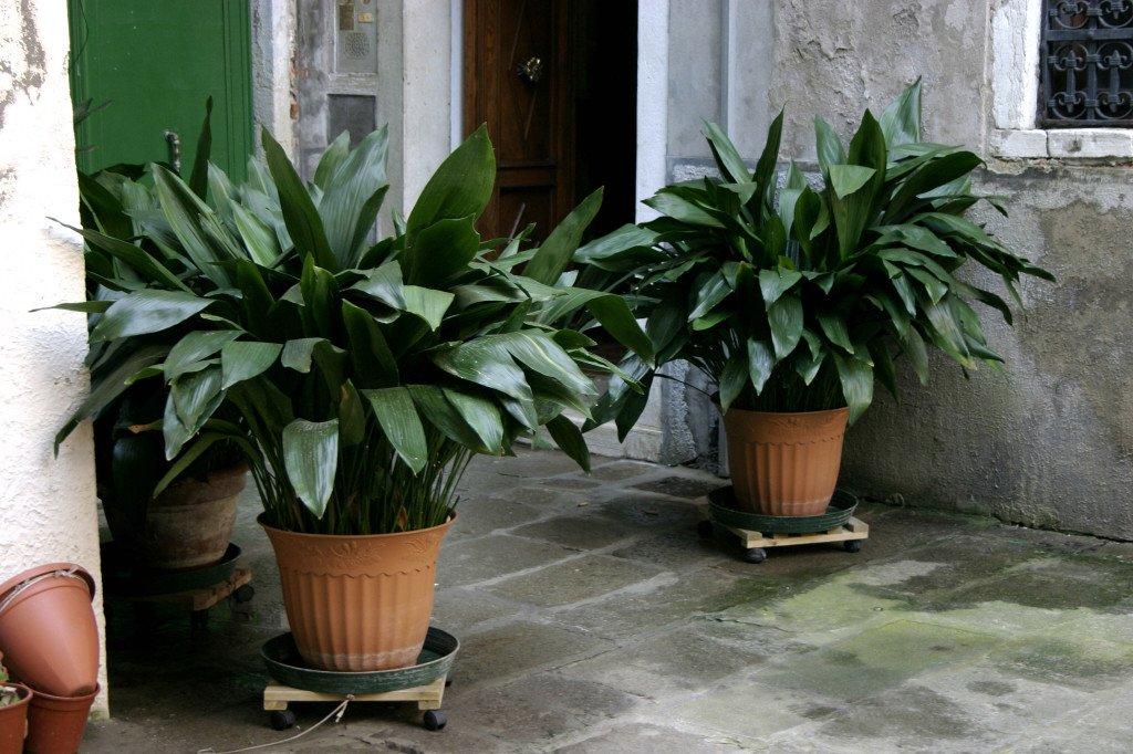 Iron plant 1024x682 1 - گیاهان مناسب اپارتمان با شرایط نگهداری آسان