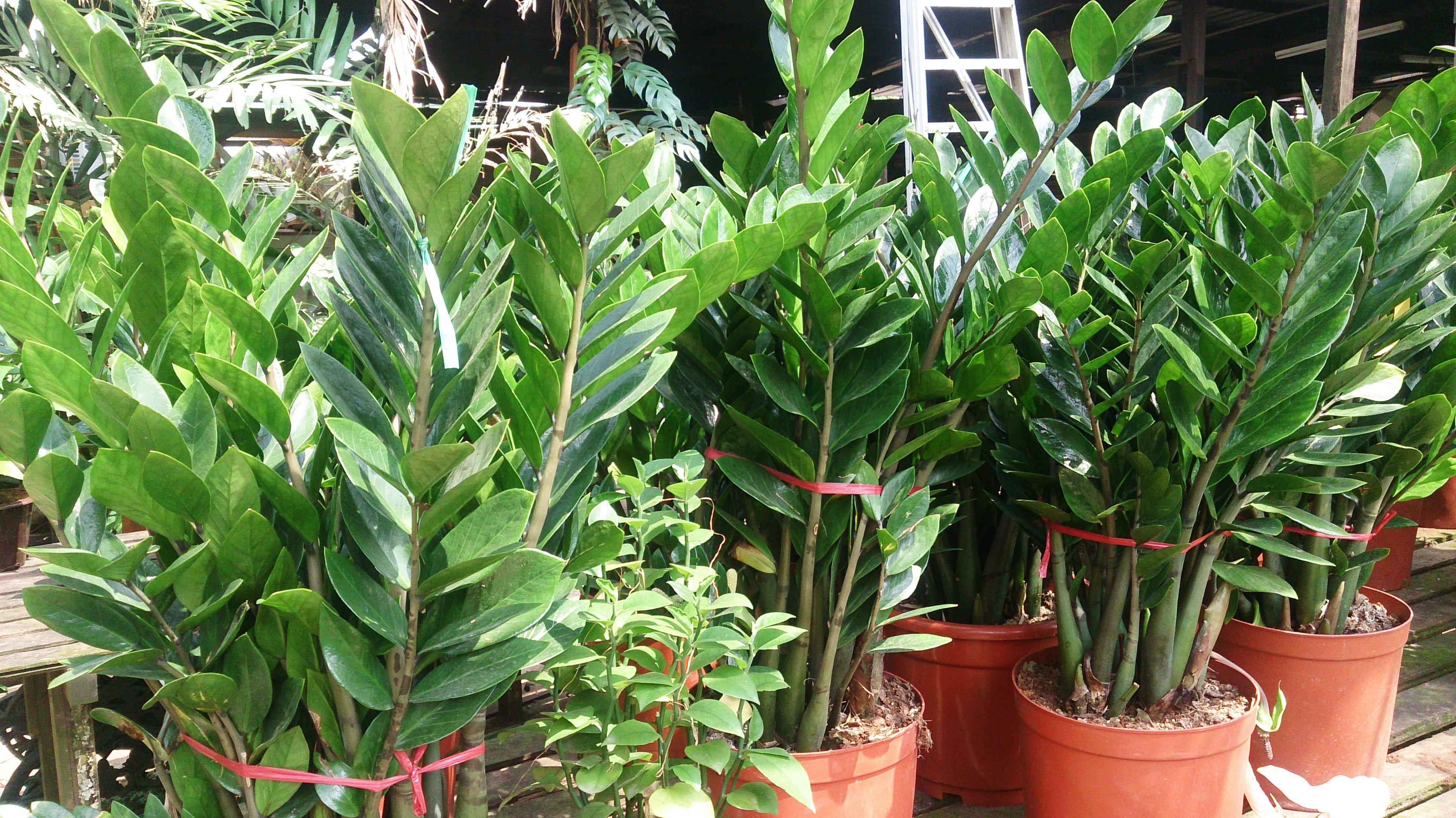 ZZ Plant Zamioculcas zamiifolia - گیاهان مناسب اپارتمان با شرایط نگهداری آسان