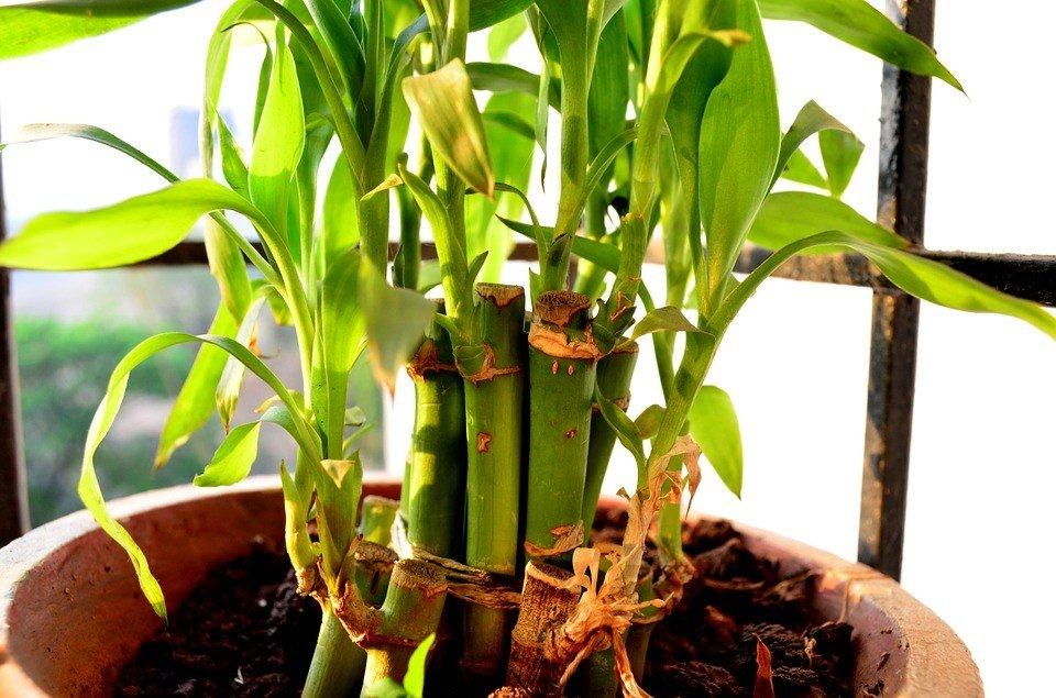 lucky bamboo potted - گیاهان مناسب اپارتمان با شرایط نگهداری آسان