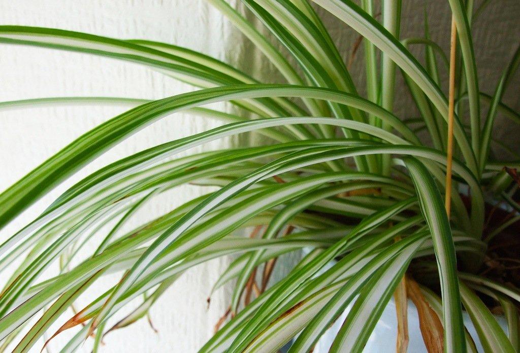 spider plant - گیاهان مناسب اپارتمان با شرایط نگهداری آسان