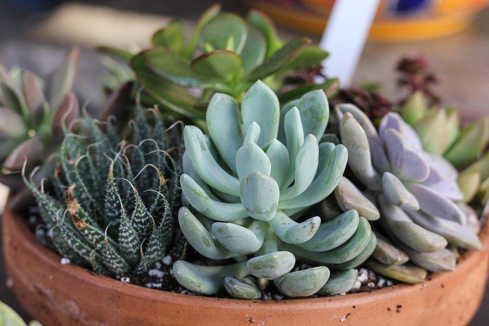 succulents - گیاهان مناسب اپارتمان با شرایط نگهداری آسان