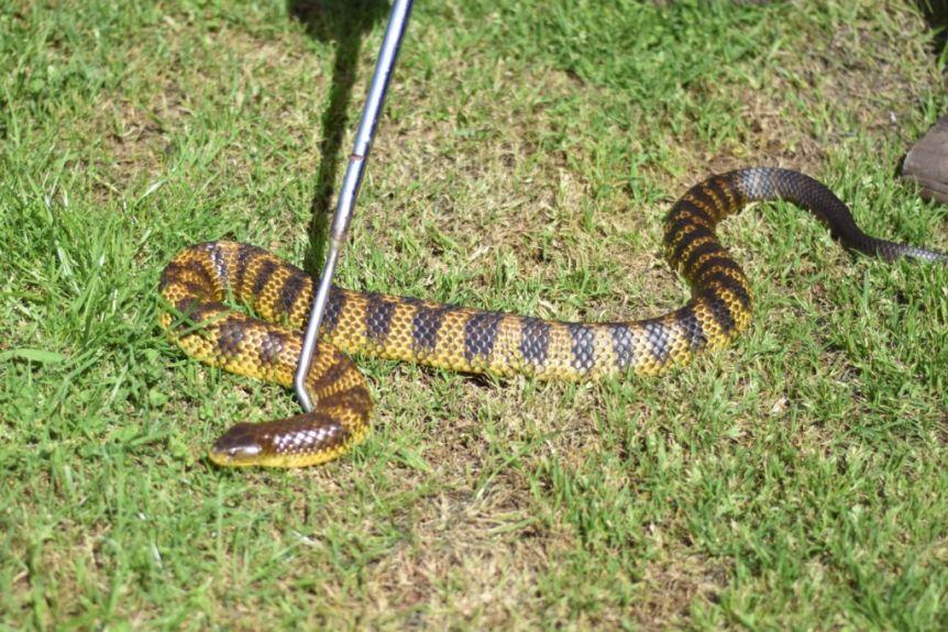 Tiger Snake - سمی ترین و مرگباترین مارهای جهان را بشناسید